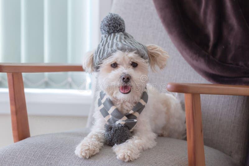 Pequeño perro lindo que se sienta en un sofá con la gorrita tejida y la bufanda del invierno imágenes de archivo libres de regalías