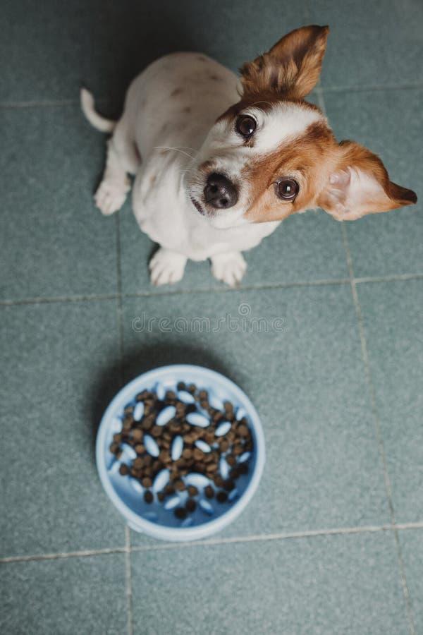 Pequeño perro lindo que se sienta y que espera para comer su cuenco de comida de perro Animales dom?sticos dentro Concepto Visi?n foto de archivo libre de regalías