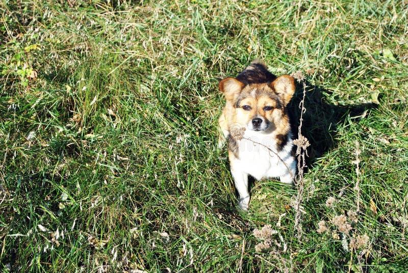 Pequeño perro mullido lindo con los remiendos blancos, marrones y negros que se sientan en el claro con la hierba verde y que mir imagenes de archivo