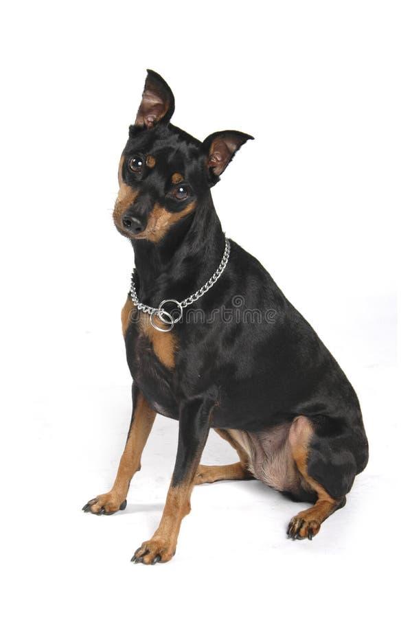 Pequeño perro negro lindo imágenes de archivo libres de regalías