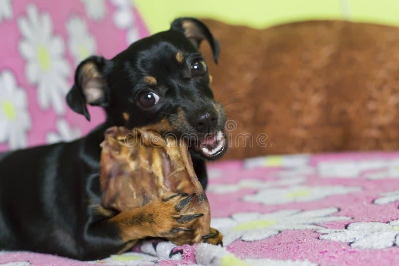 Pequeño perro negro que roe un hueso imagen de archivo libre de regalías