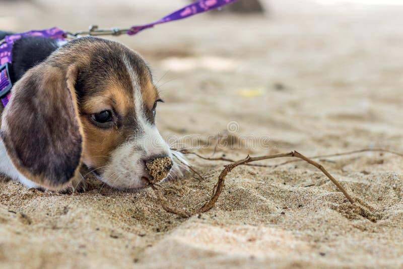 Pequeño perro, perrito del beagle que juega en la playa de la isla tropical Bali, Indonesia foto de archivo libre de regalías