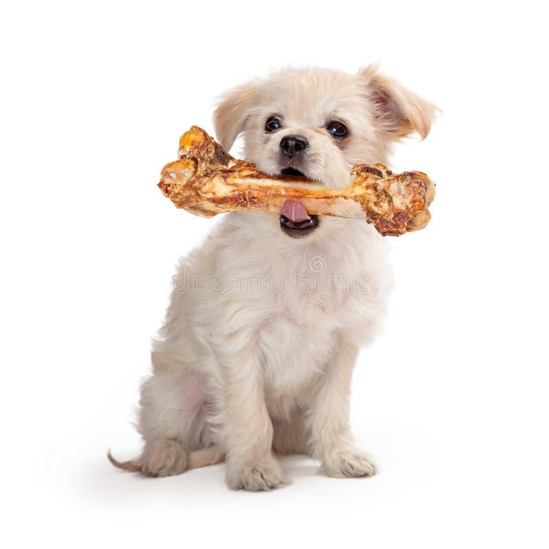 Pequeño perro que lleva el hueso grande foto de archivo