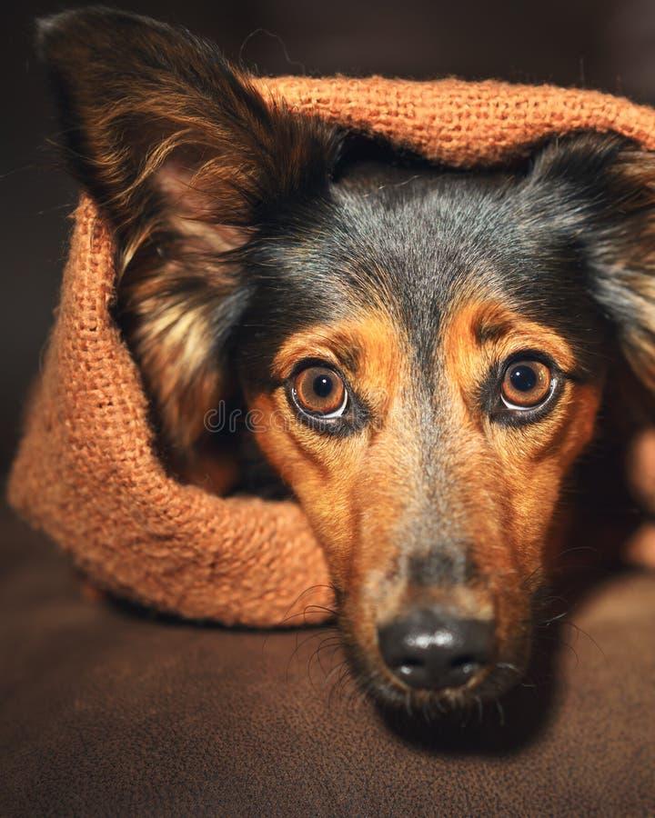 Pequeño perro que oculta debajo de la manta imagenes de archivo