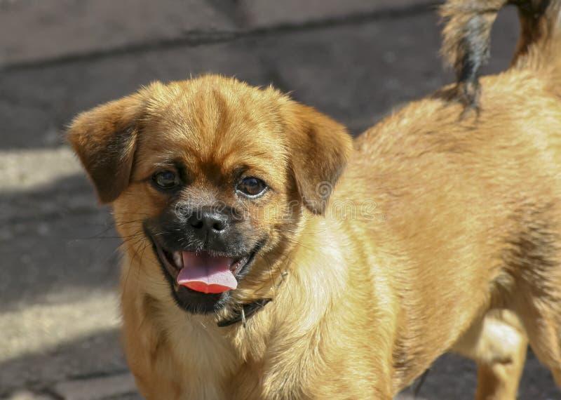 Pequeño perro rojo foto de archivo