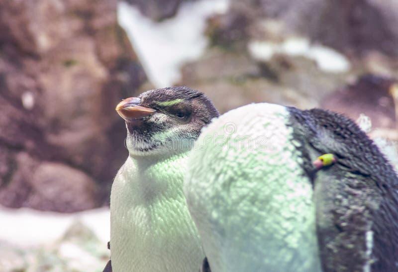 Pequeño pingüino en el parque zoológico en España foto de archivo