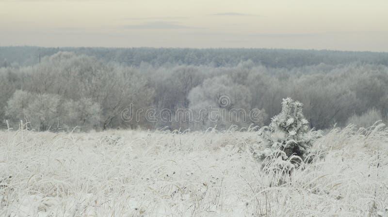 Pequeño pino en el bosque del invierno foto de archivo