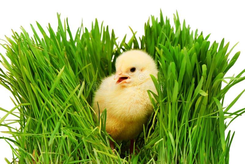 Pequeño pollo amarillo en la hierba verde, aislada en blanco fotos de archivo libres de regalías