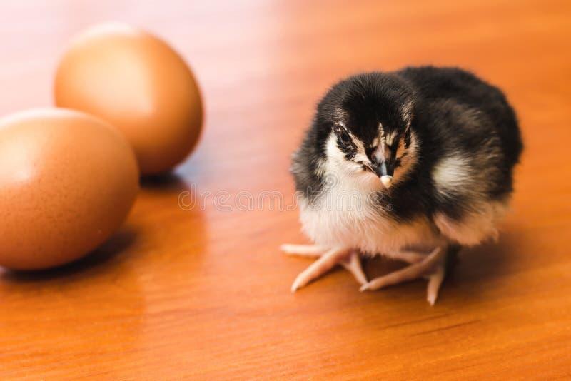 Pequeño pollo blanco y negro y dos huevos del pollo en una superficie de madera imagenes de archivo