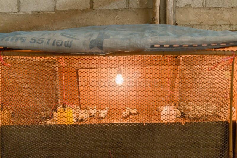 Pequeño pollo en granja foto de archivo