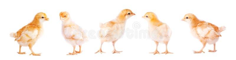Pequeño pollo lindo en el fondo blanco fotos de archivo libres de regalías