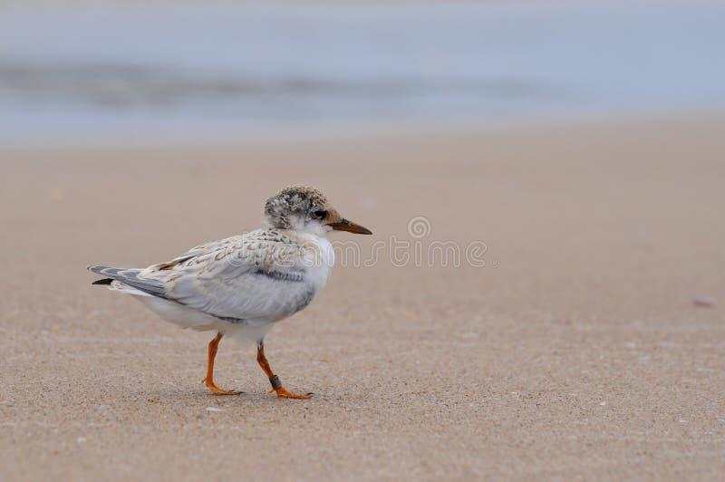 Pequeño polluelo de la golondrina de mar foto de archivo libre de regalías