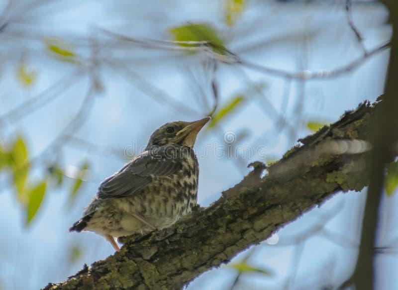 Pequeño polluelo divertido que se sienta en un árbol fotografía de archivo