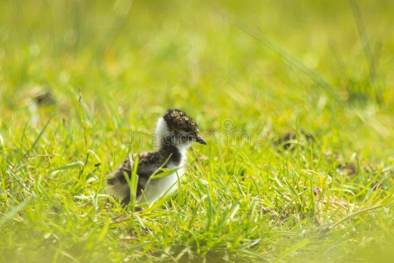 Pequeño polluelo juvenil de la avefría del vanellus septentrional del Vanellus que explora un prado imagen de archivo libre de regalías