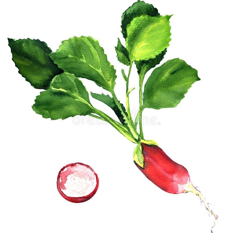 Pequeño rábano fresco del jardín aislado en blanco ilustración del vector