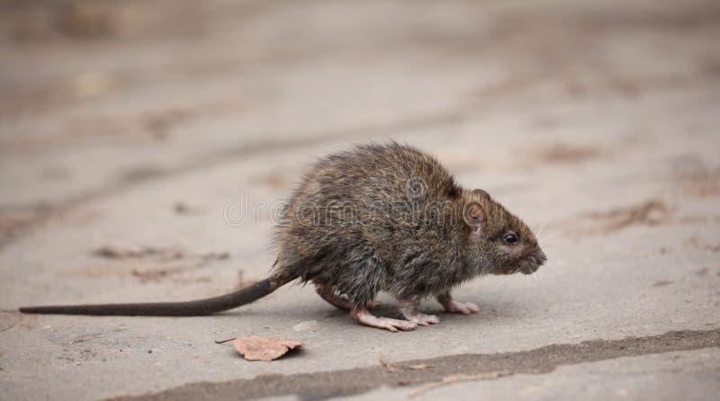 Pequeño ratón gris sucio asustado fotografía de archivo