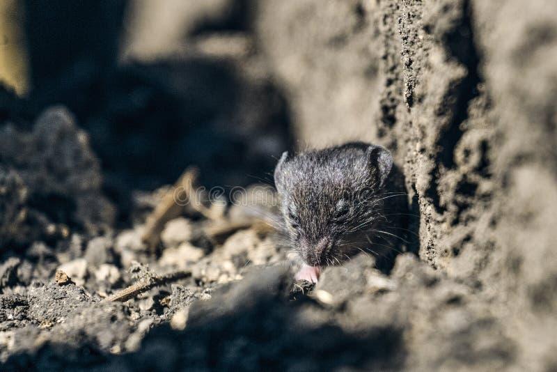 Pequeño ratón joven del campo salvaje en la tierra foto de archivo libre de regalías