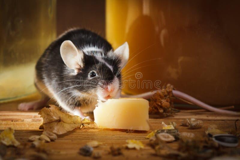 Pequeño ratón que come el queso en el sótano foto de archivo libre de regalías