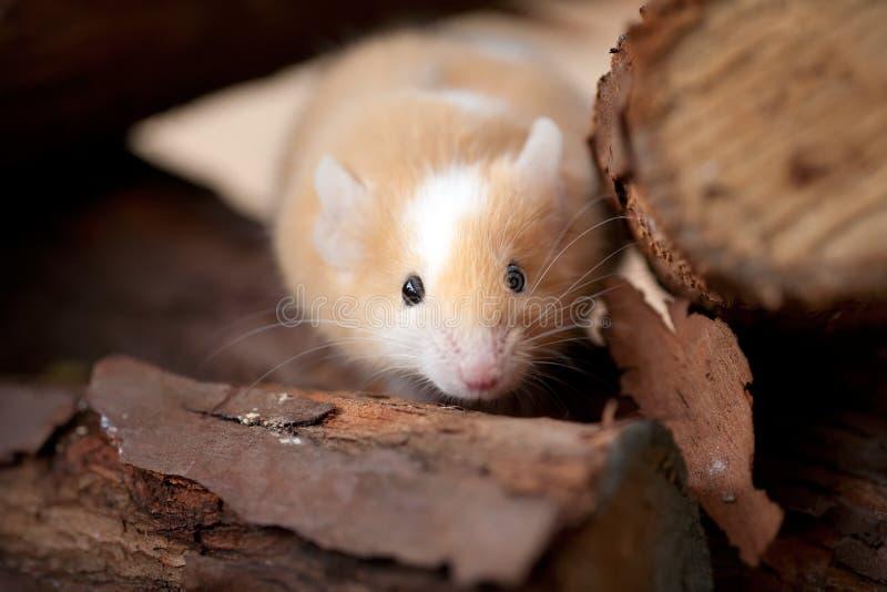 Pequeño ratón que mira a escondidas de la pila de madera imagen de archivo libre de regalías