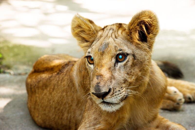 Pequeño retrato joven del león fotografía de archivo libre de regalías