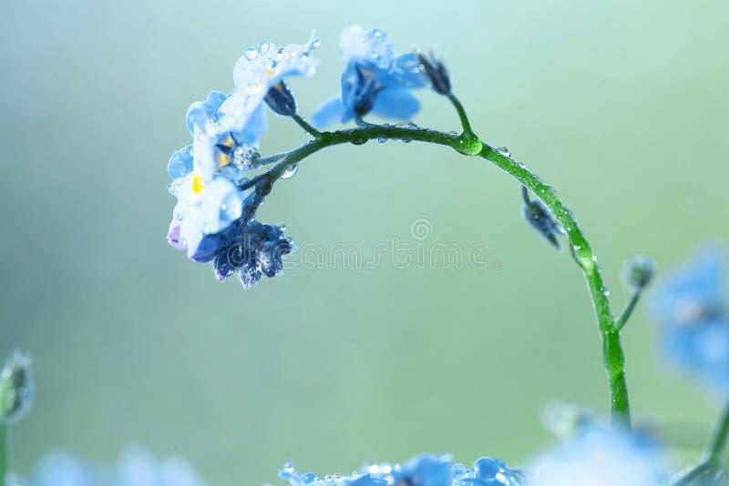 Pequeño rocío azul de las flores salvajes foto de archivo