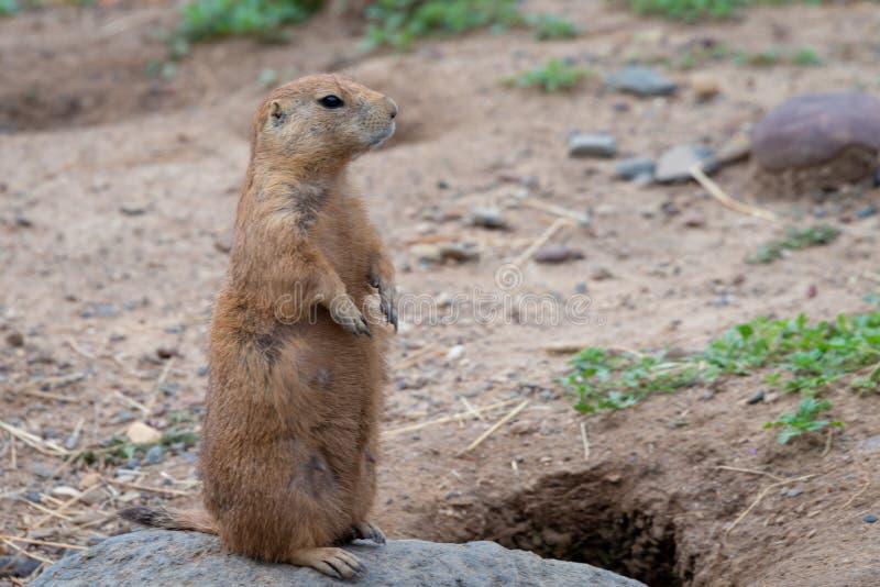 Pequeño roedor animal lindo del perro de las praderas imagenes de archivo