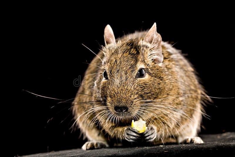 Pequeño roedor con el pedazo de comida en patas imágenes de archivo libres de regalías