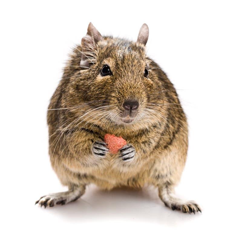 Pequeño roedor con la comida en patas foto de archivo libre de regalías