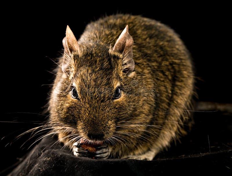 Pequeño roedor de masticación imagen de archivo
