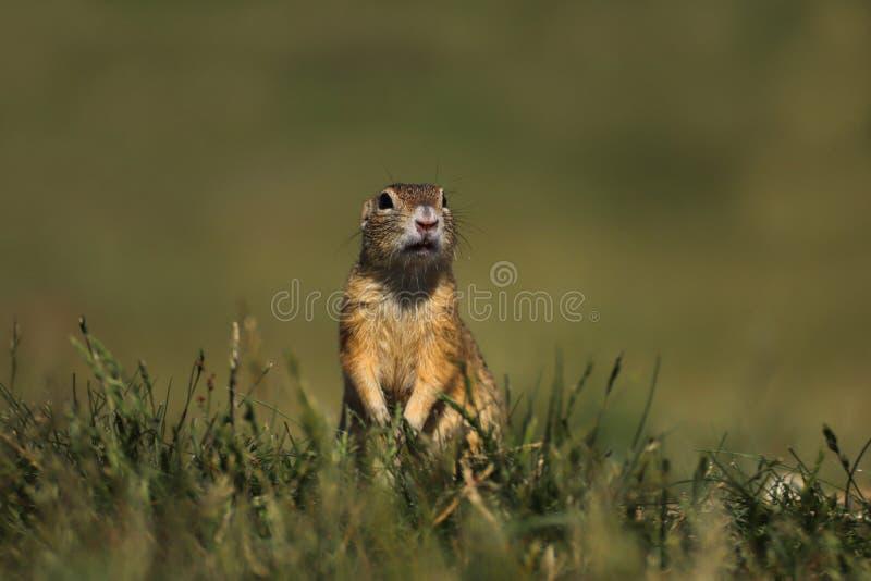 Pequeño roedor en la hierba - ardilla foto de archivo