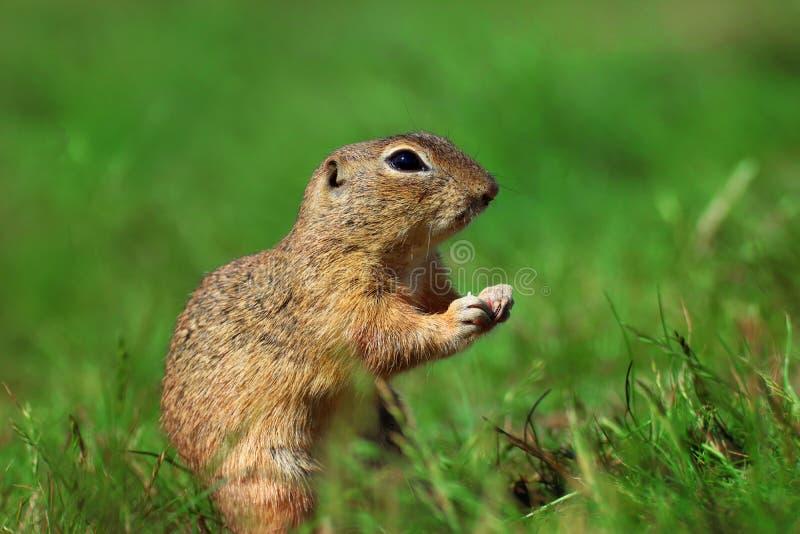 Pequeño roedor, syslic, azufre en hierba imagen de archivo libre de regalías