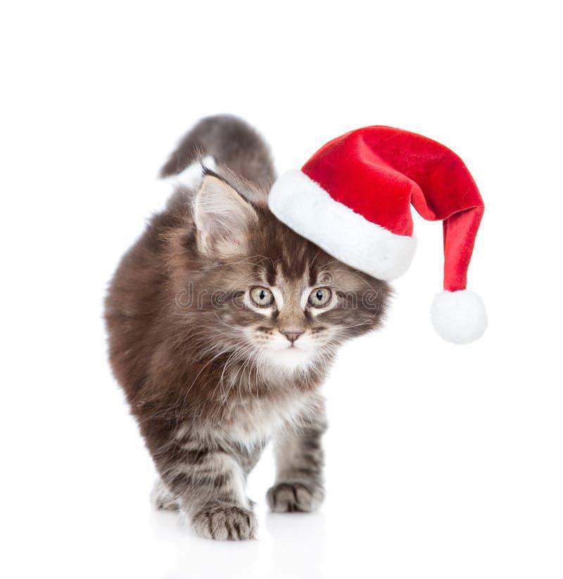 Pequeño sombrero rojo de la Navidad del gato de mapache de Maine que camina n Aislado en blanco imagen de archivo libre de regalías