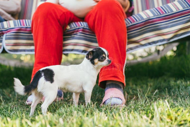 Pequeño soporte lindo del perro de la chihuahua cerca de las piernas del dueño en un césped lleno de hierba fresca verde de la pr foto de archivo
