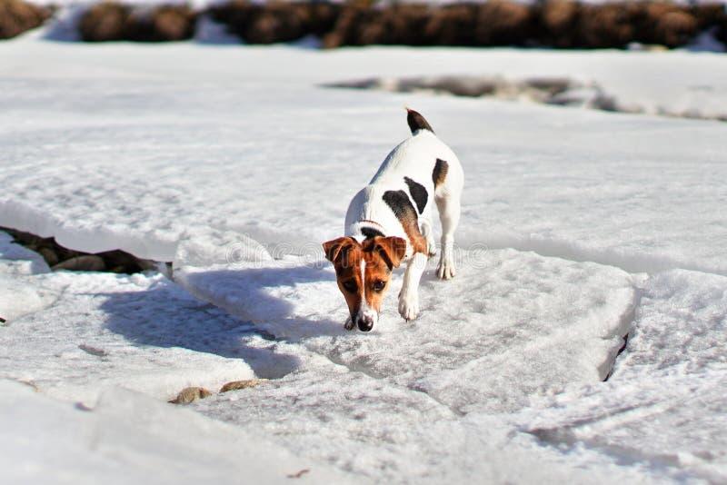 Pequeño terrier de Jack Russell que camina en la fusión del río nevado, oliendo la tierra en un día de primavera soleado imagen de archivo libre de regalías