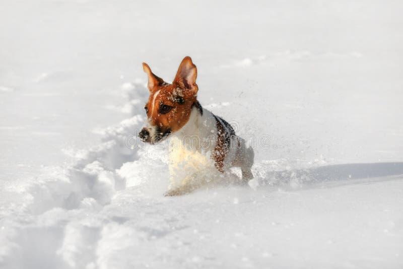 Pequeño terrier de Jack Russell que corre en la nieve profunda, cristales del hielo que rocían alrededor de sus pies foto de archivo libre de regalías