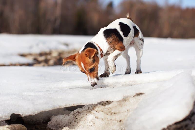 Pequeño terrier de Jack Russell que juega en nieve e hielo de fusión por el río, explorando y curioso, sus piernas sucias de fang fotos de archivo