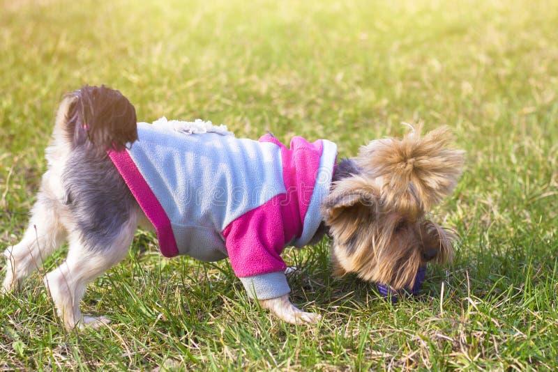 Pequeño terrier de Yorkshire lindo en un césped verde al aire libre, ninguna persona imágenes de archivo libres de regalías