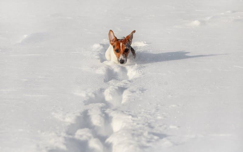 Pequeño terrier que corre en nieve profunda, solamente su cabeza de Jack Russell visible fotos de archivo libres de regalías