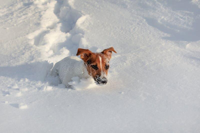 Pequeño terrier que corre en nieve profunda, su blanco de Jack Russell de la cara de cristales de hielo imagen de archivo libre de regalías