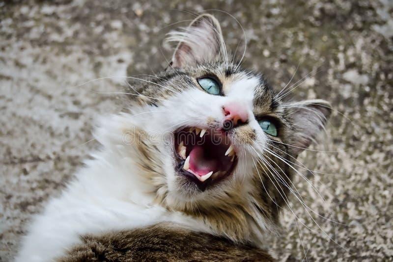 Download Pequeño tigre imagen de archivo. Imagen de dientes, gatito - 42426251