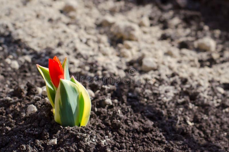 Pequeño tulipán rojo en el fondo de la tierra El concepto del principio de la primavera, el despertar de plantas, nueva vida, nue foto de archivo