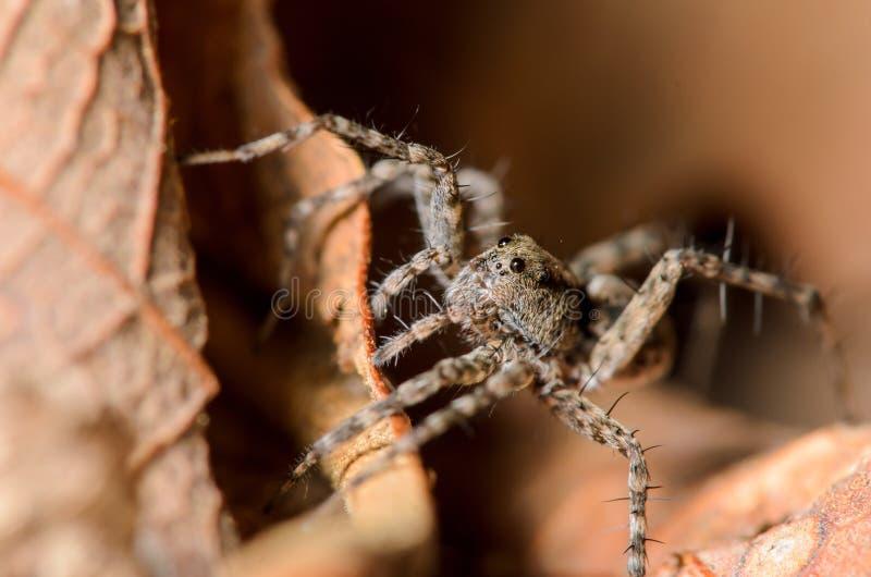 Pequeño Wolf Spider imagenes de archivo