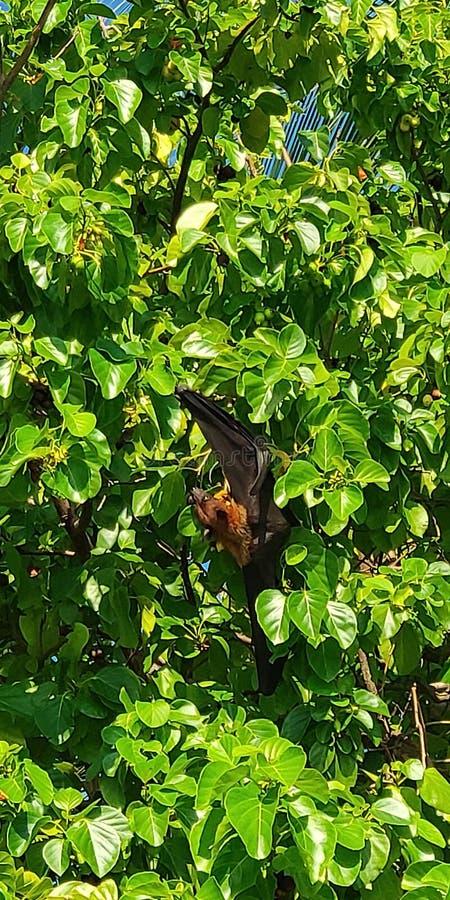 Pequeño zorro que vuela, Maldivas foto de archivo libre de regalías