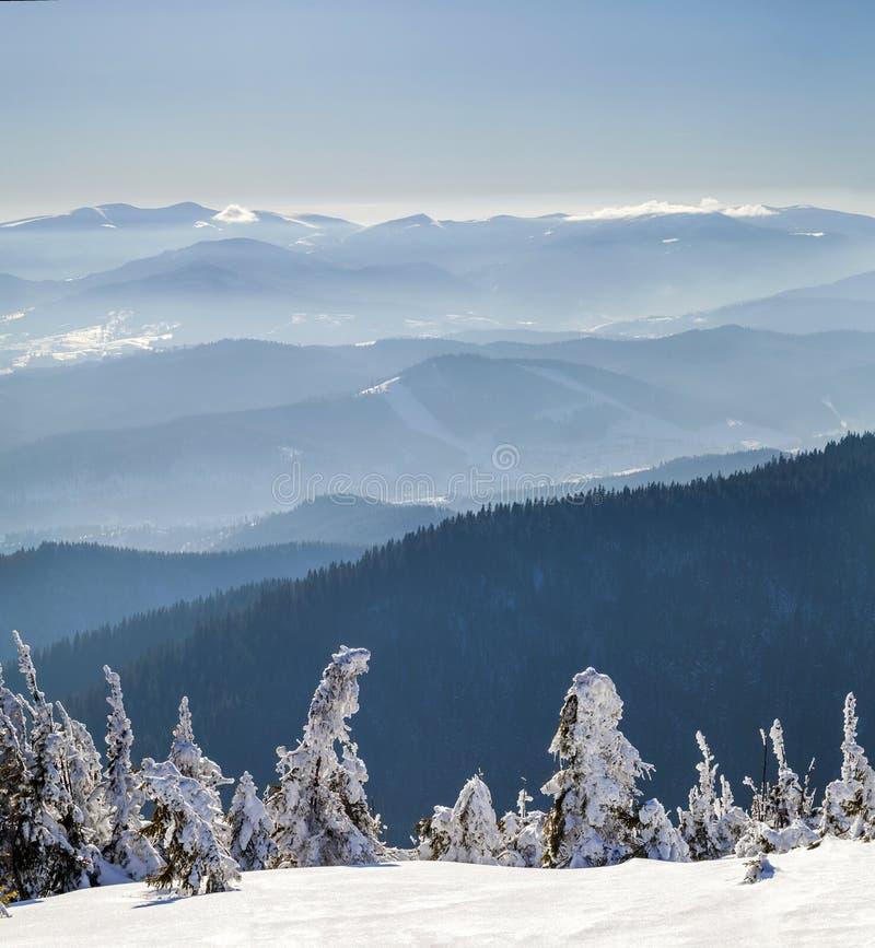 Pequeños árboles de pino doblados nevados en montañas del invierno ártico imagenes de archivo
