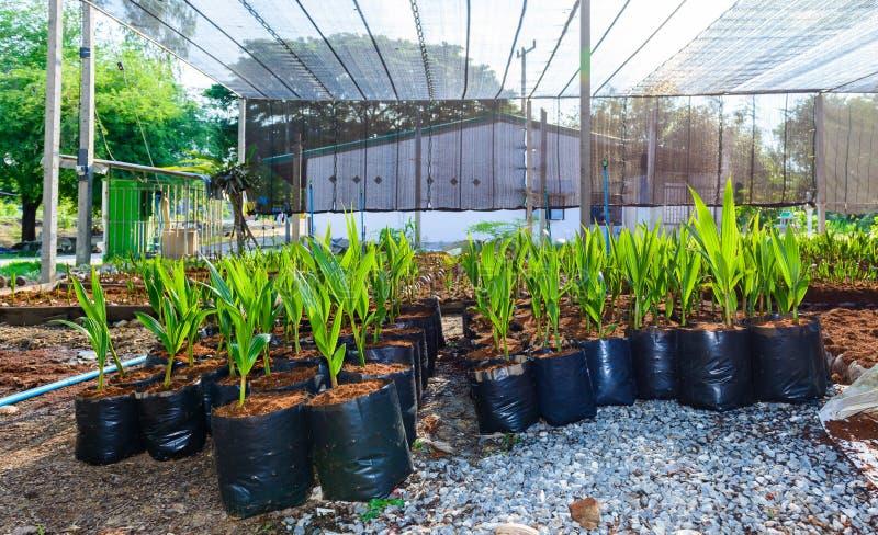 Pequeños árboles del coco joven preparaciones para tales variedades para p imagenes de archivo