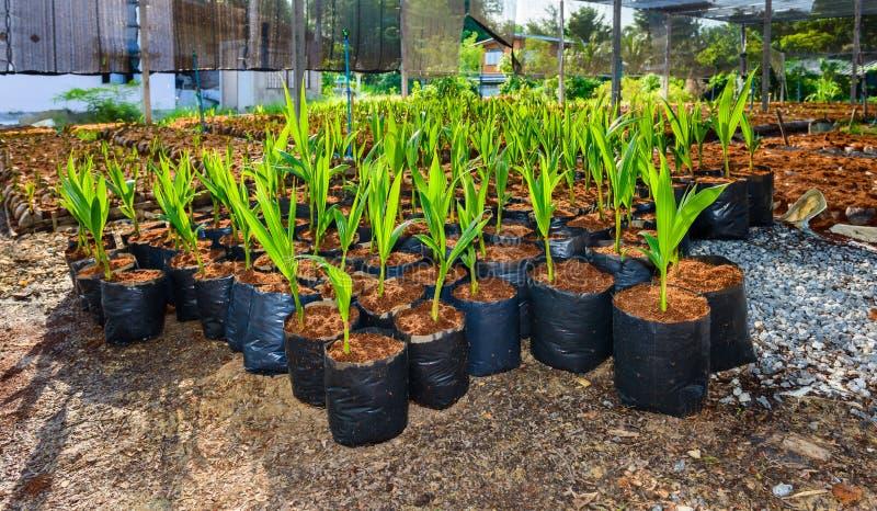 Pequeños árboles del coco joven preparaciones para tales variedades para p fotos de archivo libres de regalías