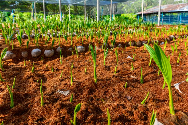 Pequeños árboles del coco joven preparaciones para tales variedades para p imágenes de archivo libres de regalías