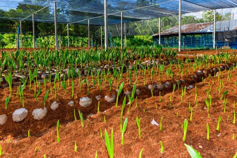 Pequeños árboles del coco joven preparaciones para tales variedades para p imagen de archivo libre de regalías