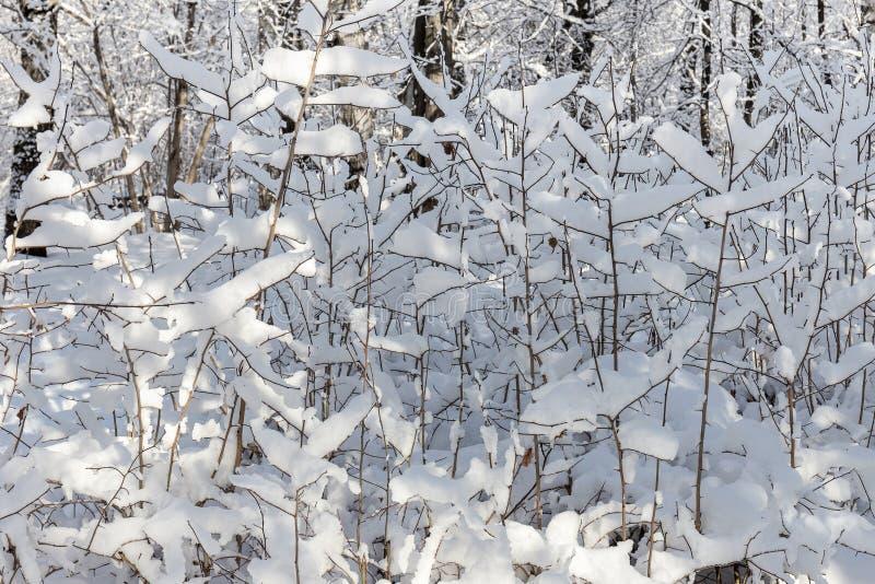 Pequeños árboles fuertemente nevados Invierno, día soleado escarchado foto de archivo