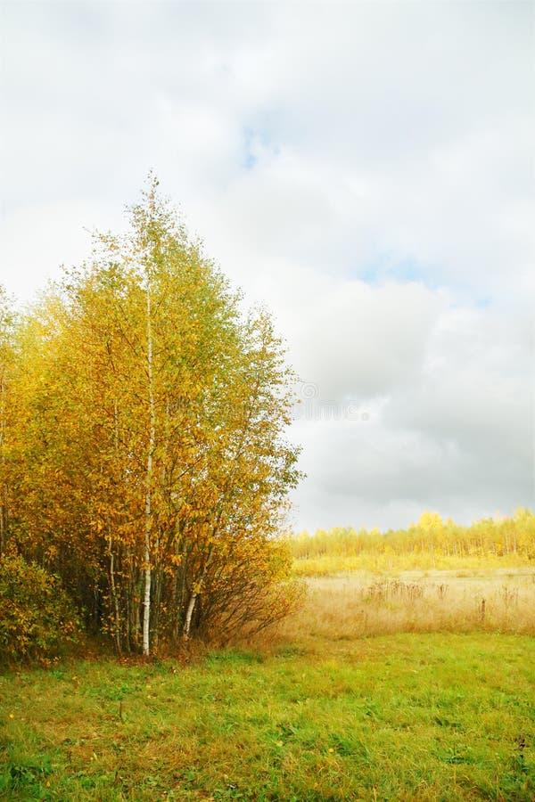 Pequeños abedules amarillos en el borde del bosque y del prado imagen de archivo libre de regalías